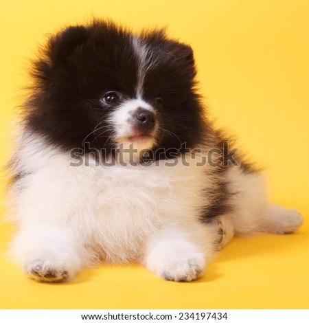 cute little spitz puppy closeup on the yellow background - stock photo