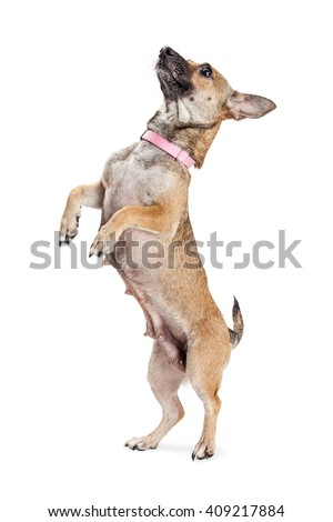 Cute little spoiled dog standing up on hind legs begging for treat - stock photo