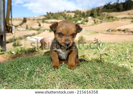 cute little stray puppy sitting in the grass in Mexico looking into the camera - stock photo