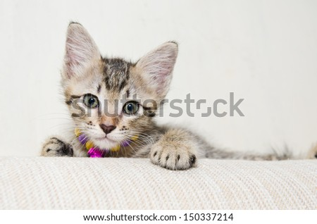 Cute Little Tabby Kitten