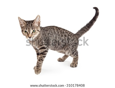 Cute little tabby kitten standing to the side and looking forward