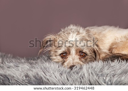 Cute little terrier crossbreed dog laying down with head resting on a grey color fur blanket