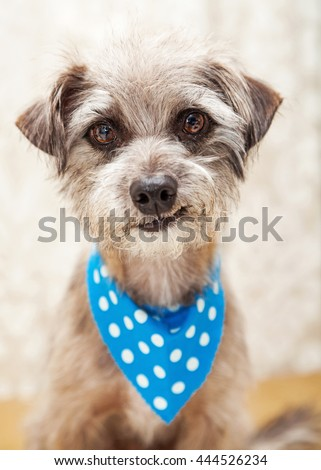 Cute little terrier dog wearing blue bandana looking into camera and smirking