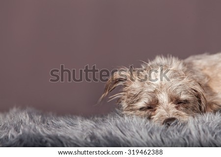 Cute little terrier mixed breed dog laying down and sleeping on a grey color fur blanket