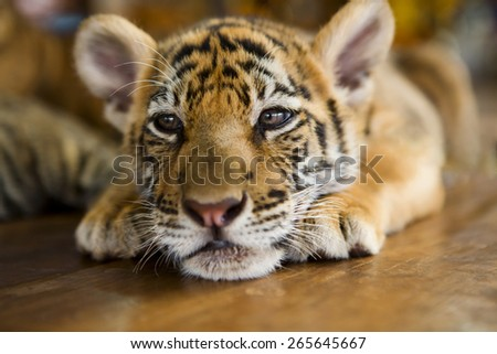 Cute little tiger cub lying on a wooden floor.  Shallow depth of field