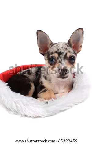 Cute little unique black spotted chihuahua with one blue eye and one black laying inside a christmas stocking