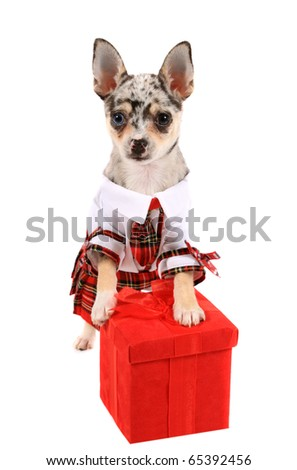 Cute little unique black spotted chihuahua with one blue eye and one brown dressed in a plaid dress standing on a red present box - stock photo