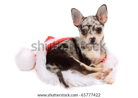 Cute little unique black spotted chihuahua with one blue eye and one brown laying inside a christmas santa hat