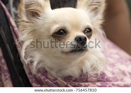 Cute Little White Chihuahua Dog