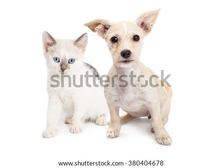 Cute little white color kitten and Chihuahua crossbreed dog sitting together over white - stock photo