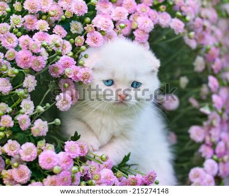 Cute little white scottish fold kitten sitting in flower meadow - stock photo