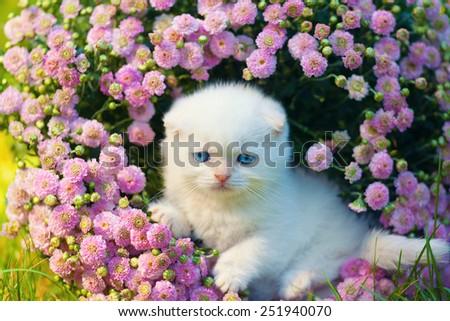 Cute little white scottish fold kitten sitting in flowers - stock photo