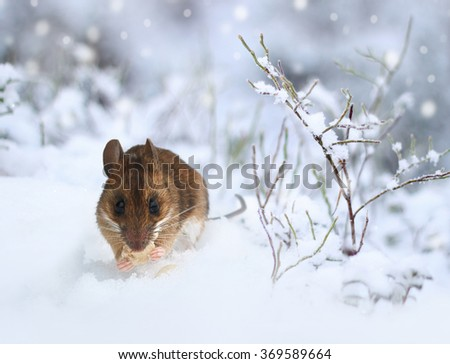 Cute little wood mouse eating on winter nature snow - stock photo