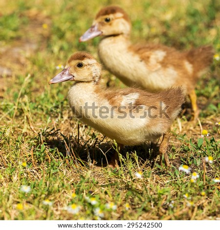 Cute little yellow goslings, selective soft focus - stock photo