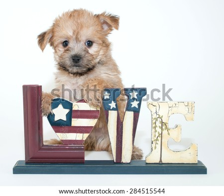 Cute little Yorkie Poo puppy with a love sign with stars and stripes representing the American flag, on a white background.