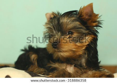 Cute little yorkshire terrier blue background - stock photo