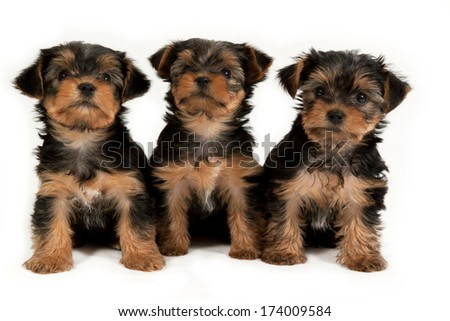 Cute little yorkshire terrier puppies isolated on white background - stock photo