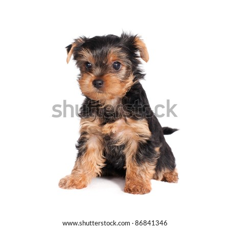 cute little yorkshire terrier puppy isolated on white background