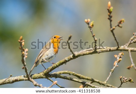 cute little young robin bird singing and climbing a blooming tree branch during springtime