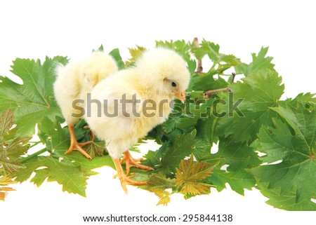 cute live little baby chicken isolated on white background on green leaves - stock photo