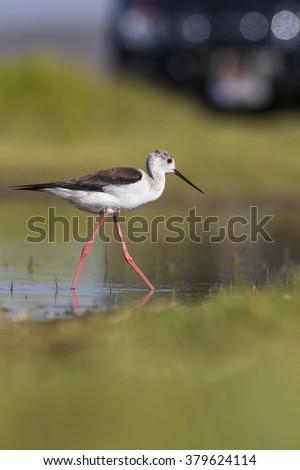 cute long legged birds Black-winged Stilt / Himantopus himantopus - stock photo