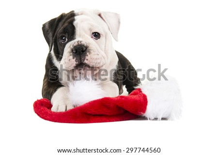 Cute looking english bulldog puppy with santa's hat on a white background