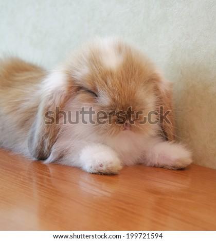 cute lop eared baby rabbit - stock photo