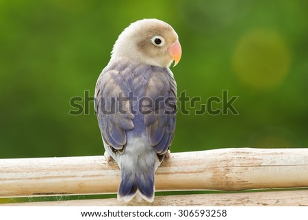 Cute lovebird standing on the perch happily - stock photo