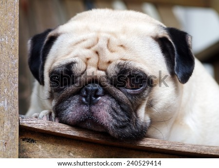 cute lovely white fat big eyes pug dog head shot close up laying flat on a wooden chair looking for friends and waiting for a walk