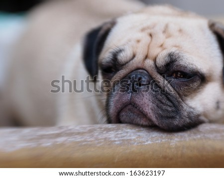 cute lovely white fat pug dog head shot close up lying flat on a table put his head on a chair back rest making sad face and close his eyes