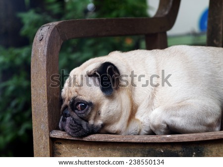cute lovely white fat pug dog head shot close up lying flat on a wooden chair making funny face under morning sunlight - stock photo