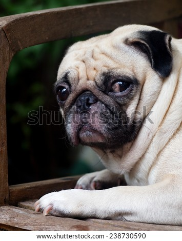 cute lovely white fat pug dog head shot close up lying flat on a wooden chair making funny face under morning sunlight