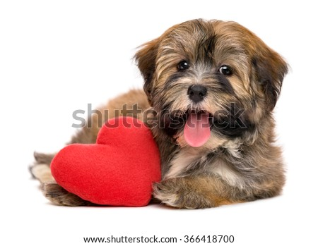 Cute lover happy valentine havanese puppy dog with a red heart, isolated on white background - stock photo