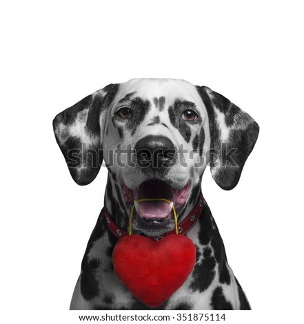 Cute lover valentine puppy dog dalmatian with red heart isolated on white background - stock photo