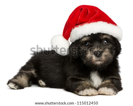 Cute lying  Bichon Havanese puppy dog in a Christmas - Santa hat. Isolated on a white background - stock photo