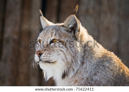 Cute lynx with yellow eyes looking forward - stock photo
