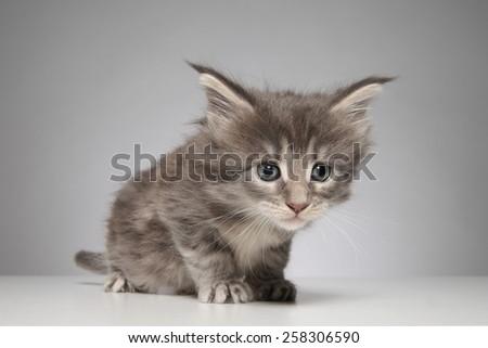 Cute Maine Coon kitten - stock photo