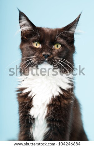 Cute maine coon kitten black and white isolated on light blue background. Studio shot. - stock photo