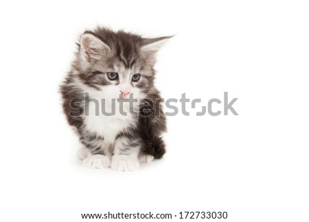 Cute Maine Coon kitten isolated on white background