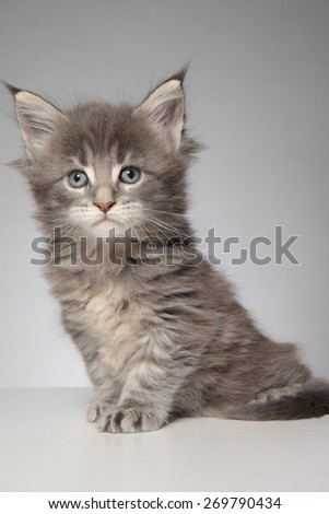 Cute Maine Coon kitten . studio photo on a gray background