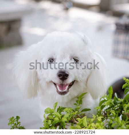 cute maltese dog - stock photo