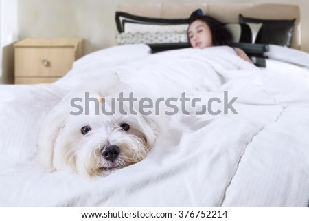 Cute maltese dog accompanies his owner sleeping in the bedroom, shot at home - stock photo