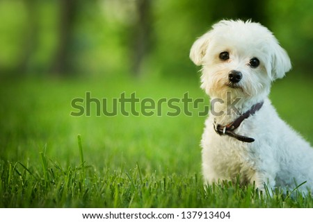 cute maltese dog sitting in grass - stock photo