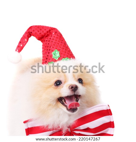 cute merry smiling spitz puppy