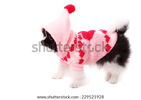 cute merry smiling spitz puppy wearing the warm jacket - stock photo
