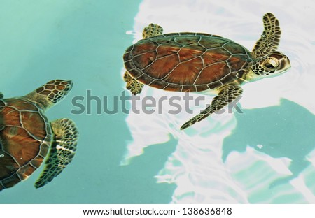 Cute Mexican turtles swimming in turquoise water - stock photo