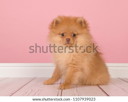 Cute Mini Spitz Puppy Dog Standing Stock Photo (Safe to Use ...