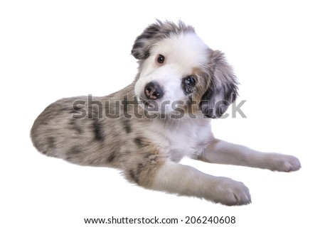 Cute miniature Australian Shepherd puppy lying down isolated on white background - stock photo