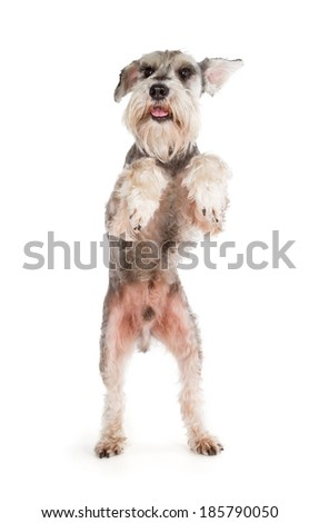 Cute miniature schnauzer dancing isolated on white background - stock photo