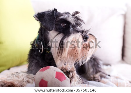 Cute Miniature Schnauzer lying on sofa with ball and inviting to play - stock photo